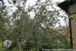 Яблоня, которую мы активно обирали