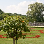 Дворец Шёнбрунн, дерево с цветами похожими на бархотки, Wienn, Austria